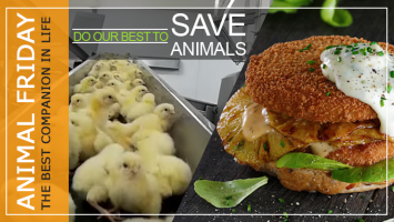 Save Chickens